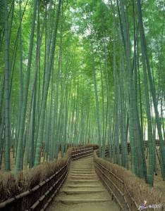 sagano-bamboo-m_101103